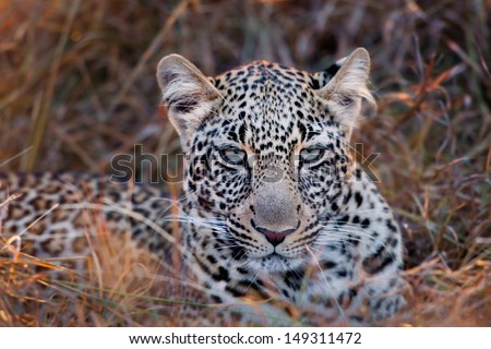 Leopard Saba, youngest daughter from Leopard Olive, enjoyed the sunrise in Masai Mara, kenya - stock photo