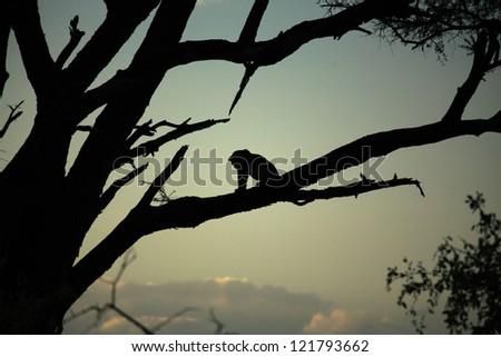 Leopard sat in a tree Kenya Africa - stock photo