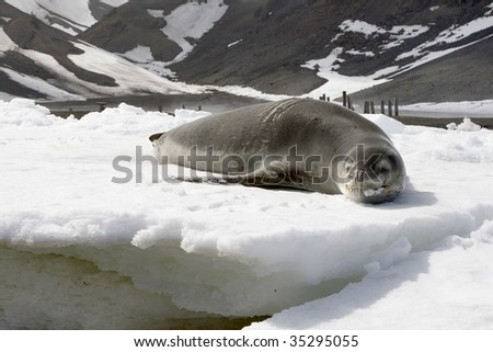 Leopard seal (Hydrurga leptonyx) resting on the ice in Deception Island, Antarctica - stock photo