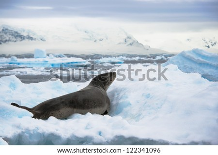 Leopard seal resting on the iceberg in Antarctica - stock photo