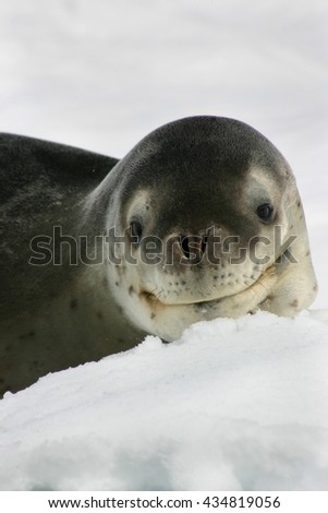 Leopard seal with a deceptive smile resting on an iceberg in Antarctica