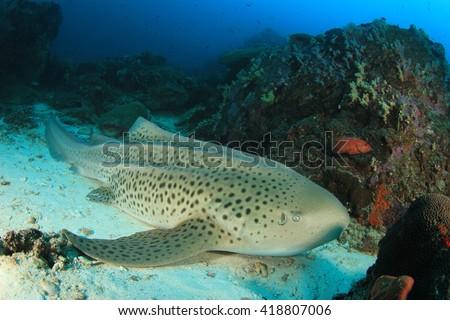 Leopard Shark - stock photo