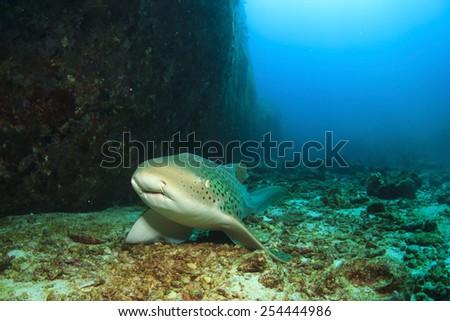 Leopard Shark (also known as Zebra Shark) - stock photo