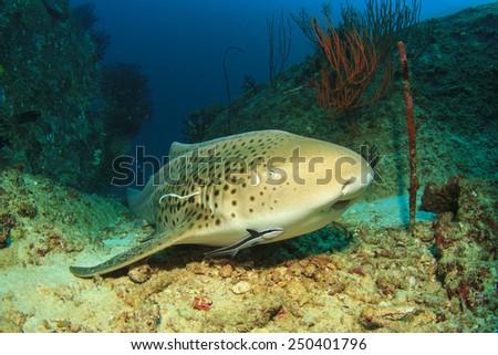 Leopard Shark (Triakis semifasciata) (sometimes known as Zebra Shark) - stock photo