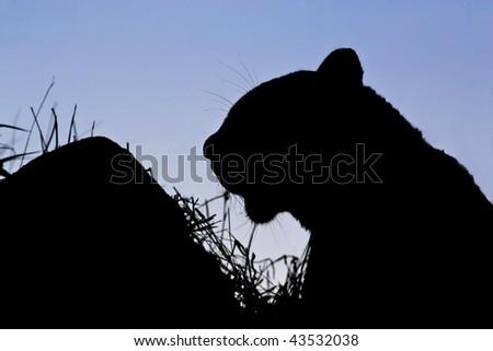 Leopard silhouette - stock photo