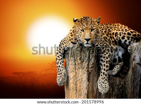 Leopard sitting on a tree - stock photo