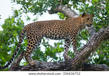 Leopard standing on a large tree branch. Sri Lanka. An excellent illustration.