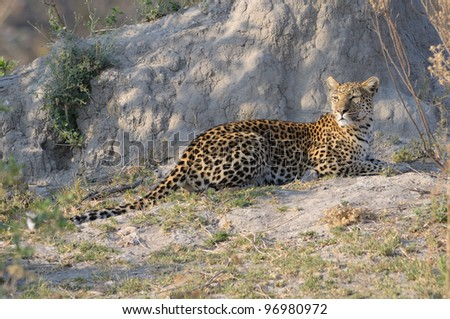 Leopard sunning on termite mound in Moremi game reserve in Botswana, Africa - stock photo
