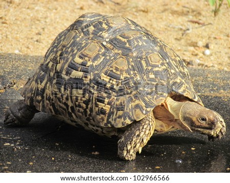 Leopard Tortoise. - stock photo