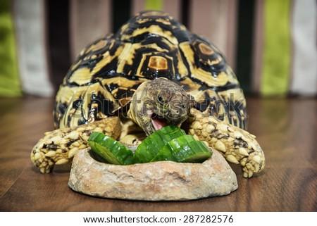 Leopard tortoise (Geochelone pardalis) eating cucumber. Animal theme. - stock photo