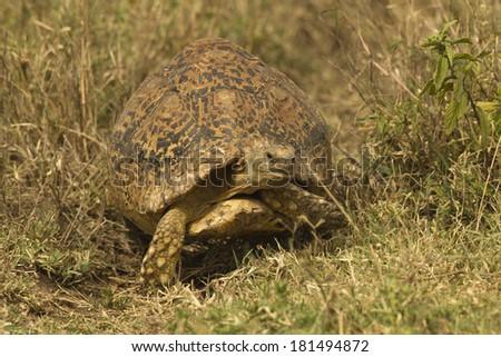 Leopard Tortoise, Geochelone pardalis, walking through grass, Gol Kopjis, Serengeti National Park, Tanzania, Africa - stock photo