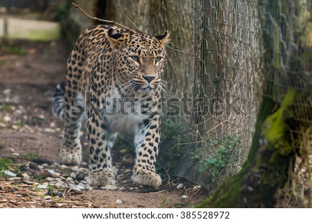 Leopard walking by the fence - stock photo