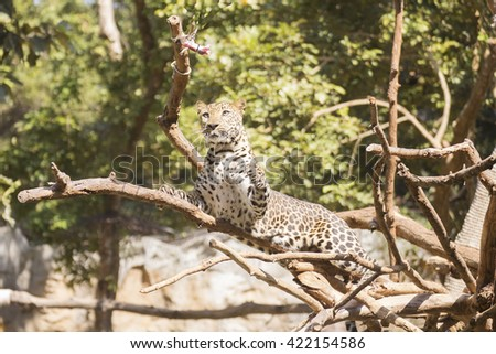 Leopard walking on the tree in the zoo  - stock photo