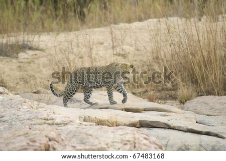 Leopard walking the riverbanks - stock photo