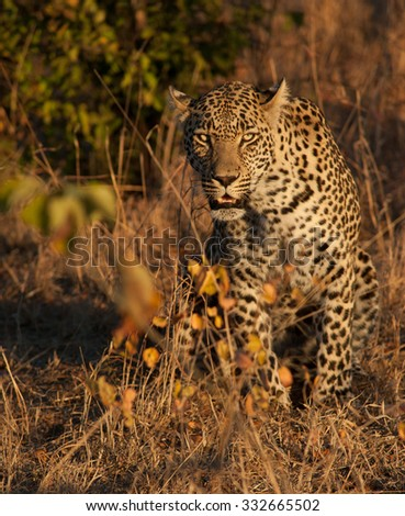 Leopard walking through the bush in morning light in Sabi Sands Game Reserve in greater Kruger National Park, South Africa - stock photo