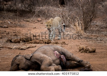 Leopard walking towards a baby Elephant carcass in the Kruger National Park, South Africa. - stock photo