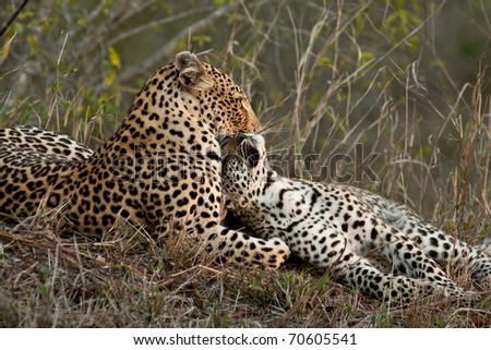 Leopard with cub nuzzling neck - stock photo
