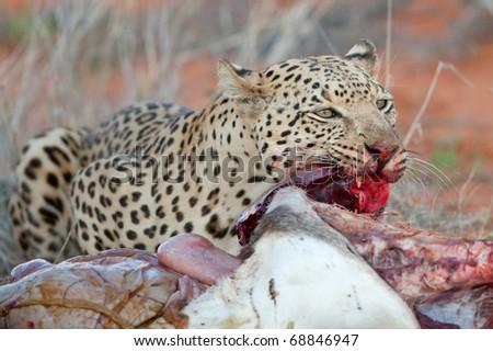 Leopard with Gemsbok kill - stock photo
