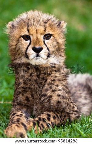 Leopard young lying in the grass in africa - stock photo