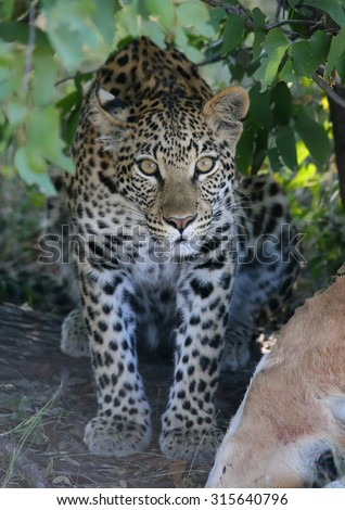 Leopard young watching - stock photo