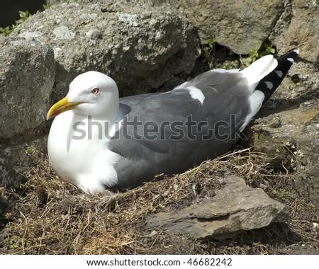 Lesser Black backed gull at nest - stock photo