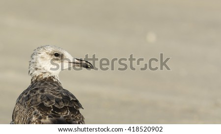 Lesser black-backed gull - close up - Bahrain - stock photo