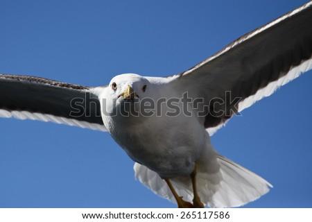 Lesser black-backed gull, Larus fuscus in flight - stock photo