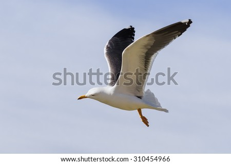 Lesser Black-Backed Gull with wings held high. A Lesser Black-Backed Gull is caught flying by with its wings at their highest point. - stock photo