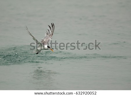 Lesser crested tern fishing