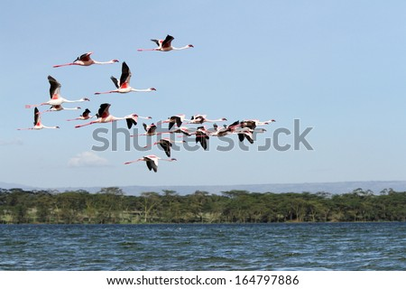 Lesser Flamingo flying above Naivasha lake - stock photo