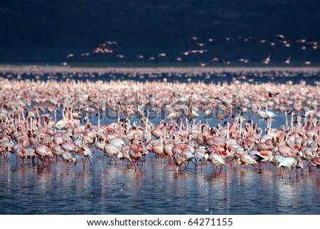 Lesser flamingos at Lake Nakuru, Kenya - stock photo