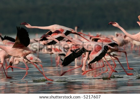 Lesser Flamingos at Lake Nakuru National Park, Kenya - stock photo