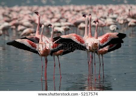 Lesser Flamingos spreading their wings at Lake Nakuru National Park, Kenya - stock photo