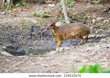 Lesser Mouse Deer drinking water - stock photo