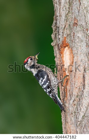 Lesser spotted woodpecker with worm at the entrance of its nest - stock photo