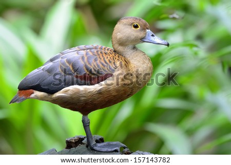 Lesser Whistling Duck (Dendrocygna javanica) standing on the log with nice details - stock photo