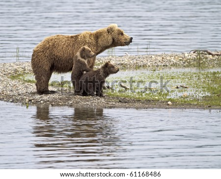 Let Me See - A grizzly bear cub stands up to get a better look in Katmai National Park, Alaska. - stock photo