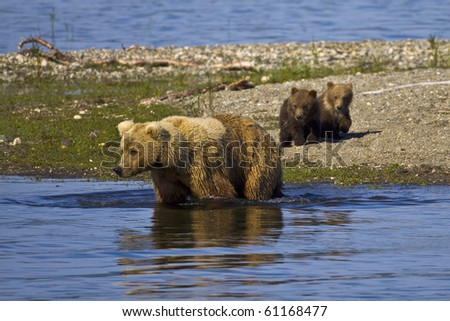 Let's Go Swimming - A mother bear is trying to entice her cubs to join her for a swim in Katmai National Park, Alaska