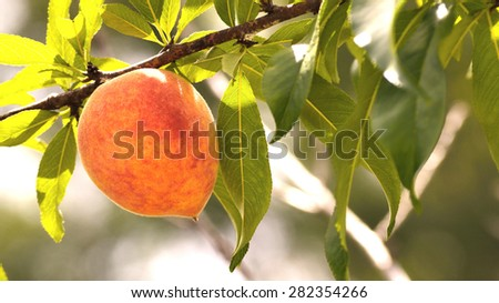 Letterbox image of a peach on a peach tree. Taken with short depth of field . Ripe peach ready for harvest. Soft rosy glow from sunlight. - stock photo