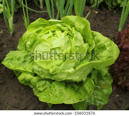 Lettuce (all the year round) growing in soil with water drops - stock photo
