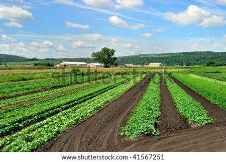 Lettuce and Herbs Growing in Field - stock photo
