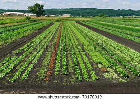 Lettuce and Herbs Growing in Large Farm  Field - stock photo