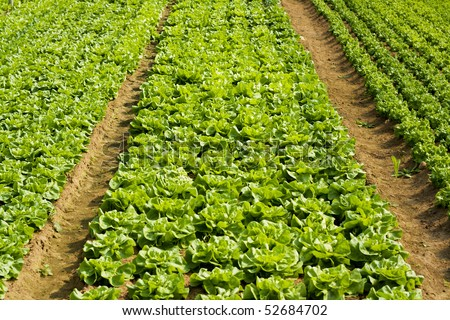 Lettuce and vegetable field