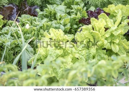 Close Lettuce Rows Vegetable Garden Stock Photo Royalty Free