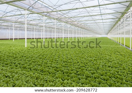 lettuce automated and modern greenhouses