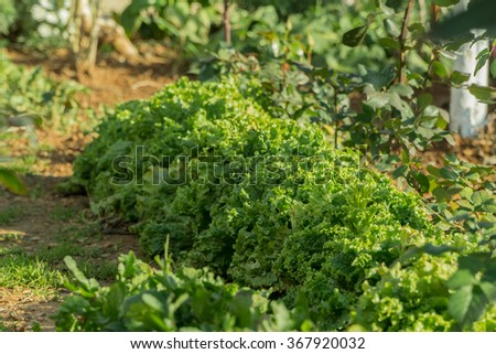 lettuce, chard, spinach, watercress salad and a very valuable plant him eat and cook a lot of different salads. Because they grow in my garden. - stock photo