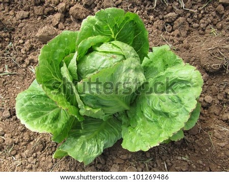Lettuce crop, orchard. - stock photo