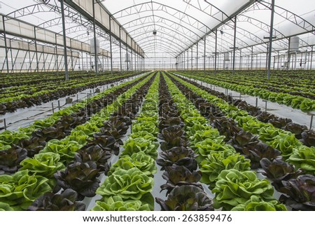 Lettuce crops in greenhouse - stock photo