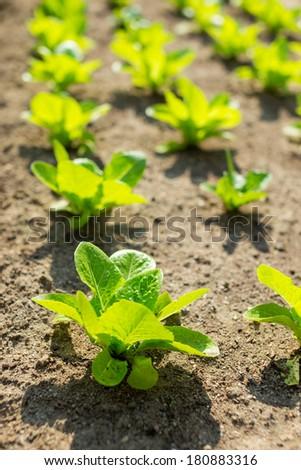Lettuce field - stock photo