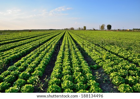 Lettuce field at sunset in italy - stock photo